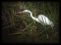 Great Everglades Egret