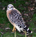 A Nice Red Shouldered Hawk