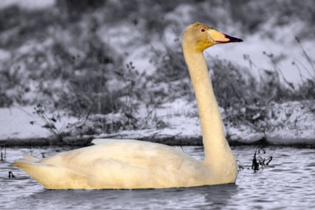 A Swan in it's adolescent
