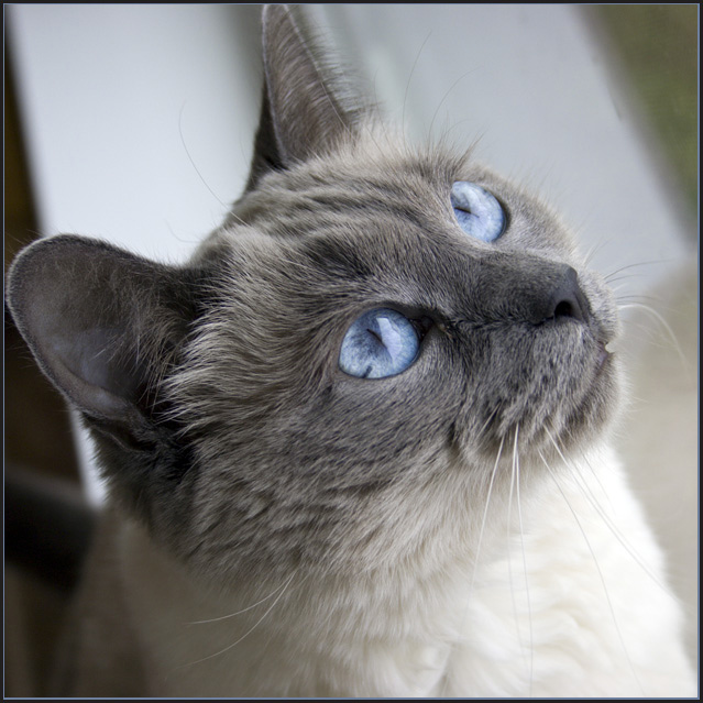 Blue Eyes (aka Yet Another Cat Picture)