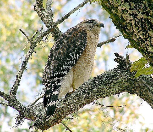 Hawk in Meditation
