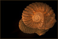 Ammonite Light