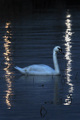 A Swan in the Limelight