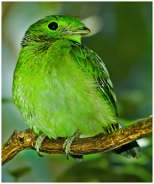 The Avian Emerald