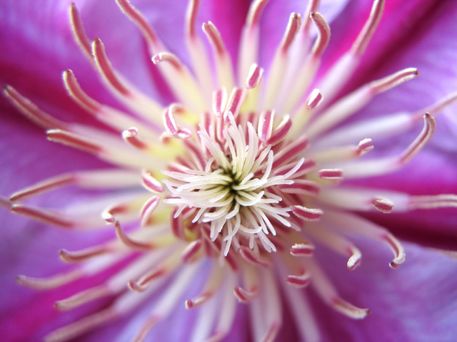 Hailing Dr. Ruppel Clematis