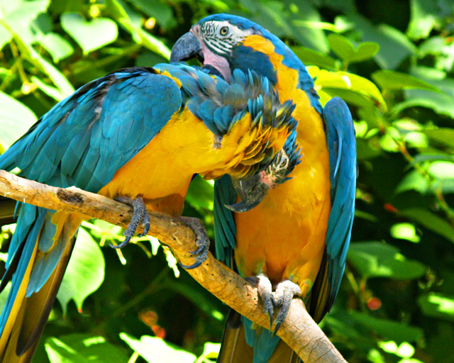 Gold breasted macaws