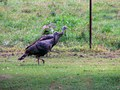 Turkey Trot (Country Living)
