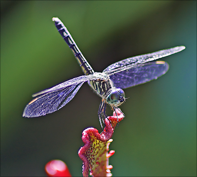 Purple Gossamer Wings