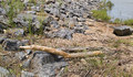 Wetlands Woody: the mythical log python suns itself on a rock