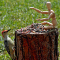 The Woodpecker Discovers a Woody!