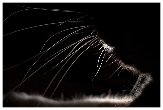 Whiskery Silhouette