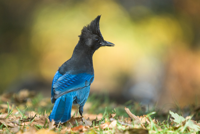 Steller's Jay Looking for Acorns