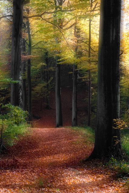 Beeches forest in autumn
