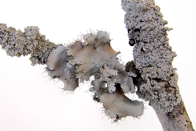 Light-Grey Lichen w/a 'Raspberry'