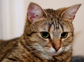 Feline Study III - Behaviour traits - The Stare