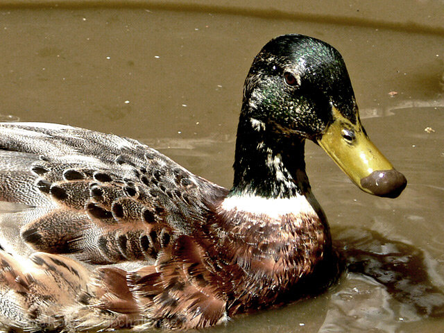 Duck with a dirty face