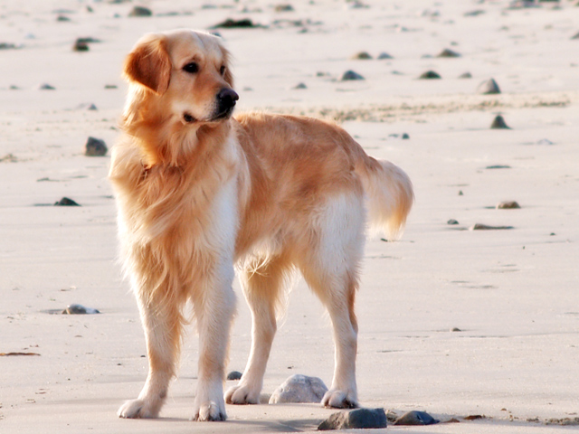 Beach Retriever