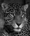 Black and White Jag