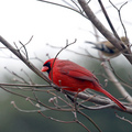 Northern Cardinal (American Goldfinch in background)