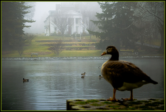 Ducks in the Mists