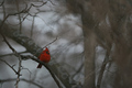 Redbird in Winter