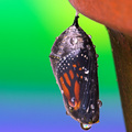 Chrysalis of Life