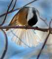 �Aren�t they like a peacock�s tail?��vanity of a Great Tit without a mirror