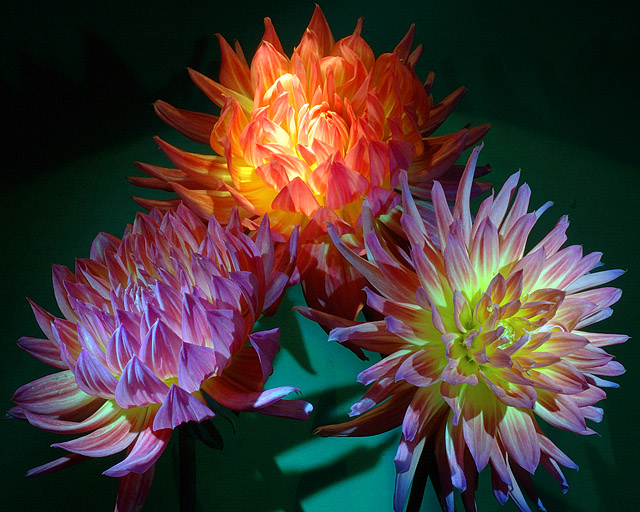 Three Dahlias