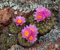 Blooming Cacti amongst the Lichen