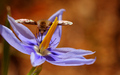 Sphinx Moth on Celestial Lily