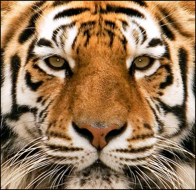 The Eyes of a Tiger