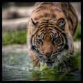 The Water Tiger
