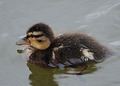 Duckling Feathers
