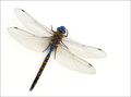 Blue-eyed Darner Dragonfly