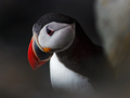 A puffin in hiding