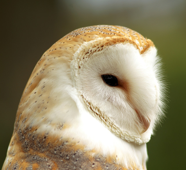Owl - Close Up