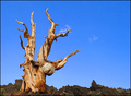 Remains of an Ancient Bristlecone Pine