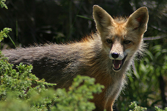 High mountain fox.