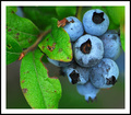It's Wild Blueberry Season