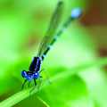 Blue in Bokeh