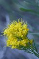 Yellow Mountain Flower