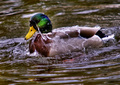 Water off a Duck's back...