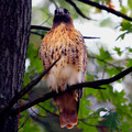 "New England ""Red Tail Hawk"""