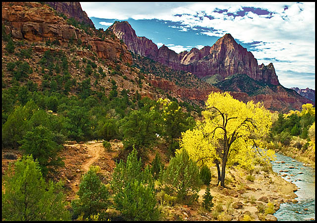 solitary Zion cottonwood