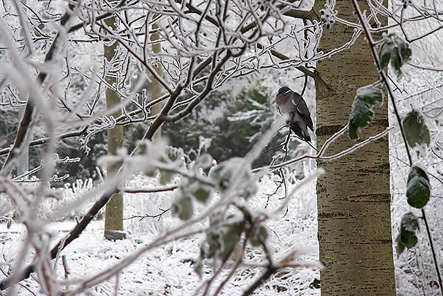 Trees, snow and a pigeon
