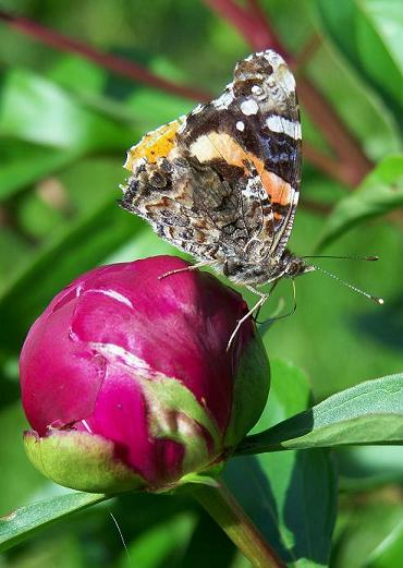 A Butterfly and the Unblossom Flower