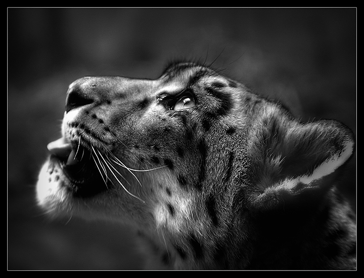The Leopards Gaze