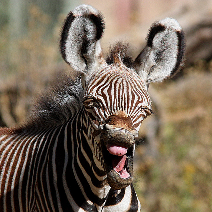 baby zebra laugh