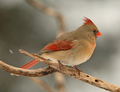 Female Cardinal & The Snow Flake