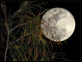 Pine Tree and Full Moon